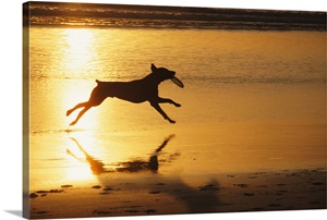 A Pet Dog In Silhouette Runs With A Frisbee On A Beach At
