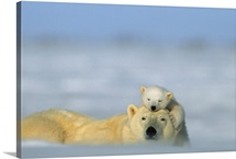 A polar bear cub finds a peaceful sleeping spot on its mother's head, Wapusk National Park, Manitoba, Canada