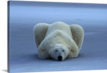 A portrait of a sleeping polar bear, Northern Canada