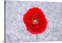 A red poppy flower against a cement walkway