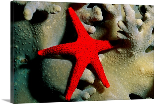 A red starfish crawling across a coral, Western Pacific Ocean