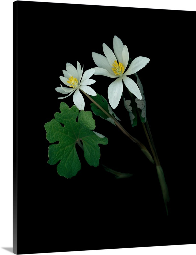 A scan of a bloodroot plant, Sanguinaria canadensis, in bloom
