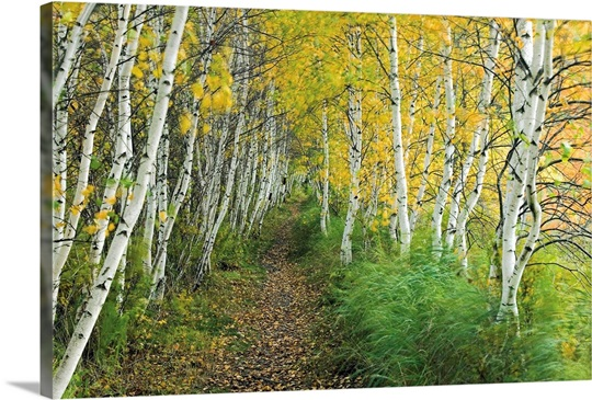 Forest Wall Art a sedge lined trail through a birch forest wall art, canvas prints