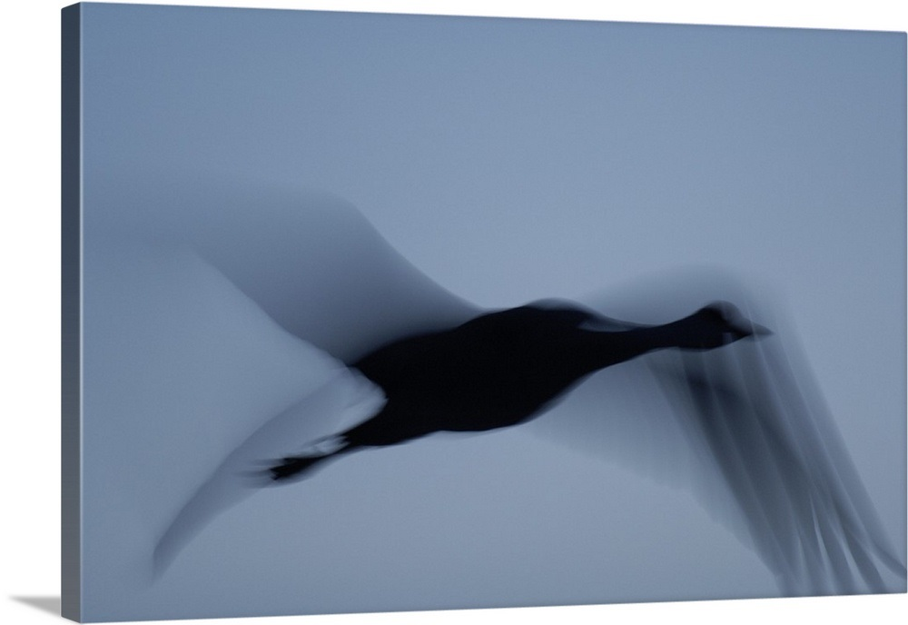 It Was Twilight And Sandhill Cranes >> A Silhouette Of A Sandhill Crane In Flight At Twilight Wall Art