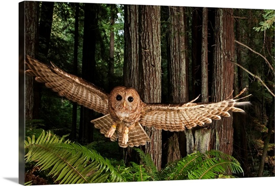 Forest Wall Art a tagged northern spotted owl in a redwood forest wall art, canvas