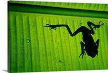 A tree frog on a leaf, Madidi National Park, Bolivia