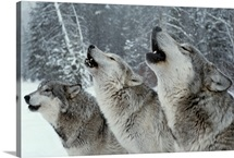 A trio of gray wolves, Canis lupus, howl in unison