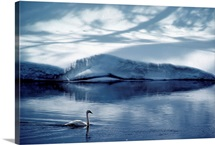 A trumpeter swan glides across the river, Yellowstone National Park, Wyoming