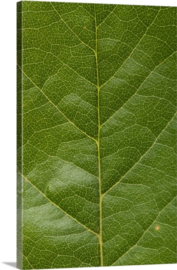 A western chokecherry leaf