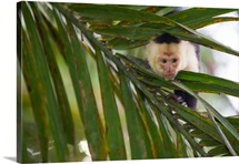 A white-faced capuchin monkey, Cebus capucinus, behind a palm frond