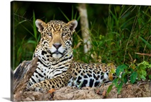 A wild jaguar rests along the banks of the Cuiaba River in the Brazilian Pantanal