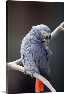 African Grey Parrot preening, east Africa