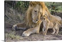 African Lion cub approaches adult male, Masai Mara National Reserve, Kenya