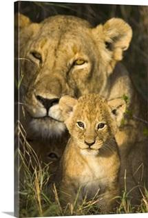 African Lion cub peeks out of the den at sunrise, Masai Mara National Reserve, Kenya