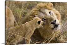 African Lion cub playing with adult male, Masai Mara National Reserve, Kenya