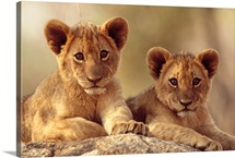 African Lion cubs resting on a rock, Hwange National Park, Zimbabwe, Africa