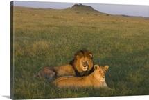 African Lion male and female, Masai Mara, Kenya