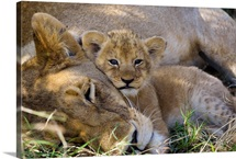 African Lion mother resting with four week old cub, Masai Mara National Reserve, Kenya