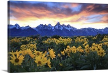 Alpine sunflowers illuminated by a glowing sunset over snow-capped mountains