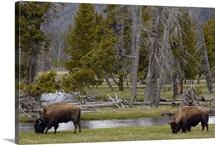 American Bison pair grazing, Yellowstone National Park, Wyoming
