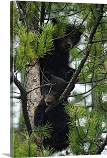 American black bear cubs in a pine tree, Canada