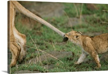 An African lion cub pulls a lioness's tail