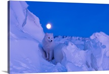 An Arctic fox under a full moon on a February morning, Manitoba, Canada