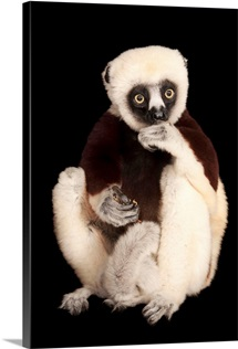 An endangered Coquerel's sifaka, at the Houston Zoo