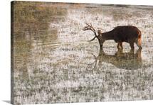 An endangered hard-ground barasinghas, drinking water