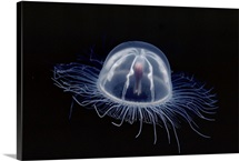 An inch long transparent jellyfish glows in the dark