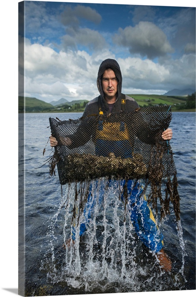 An oyster farmer pulls a bag of Pacific Oysters out of the cold waters