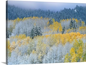 Aspen And Spruce Dusted With Fresh Snow Rocky Mountain