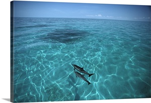 Atlantic Spotted Dolphins In Clear Water Little Bahama