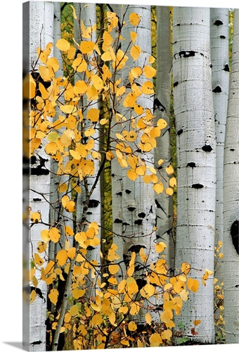 Autumn foliage and tree trunks of aspen trees, Crested Butte ...