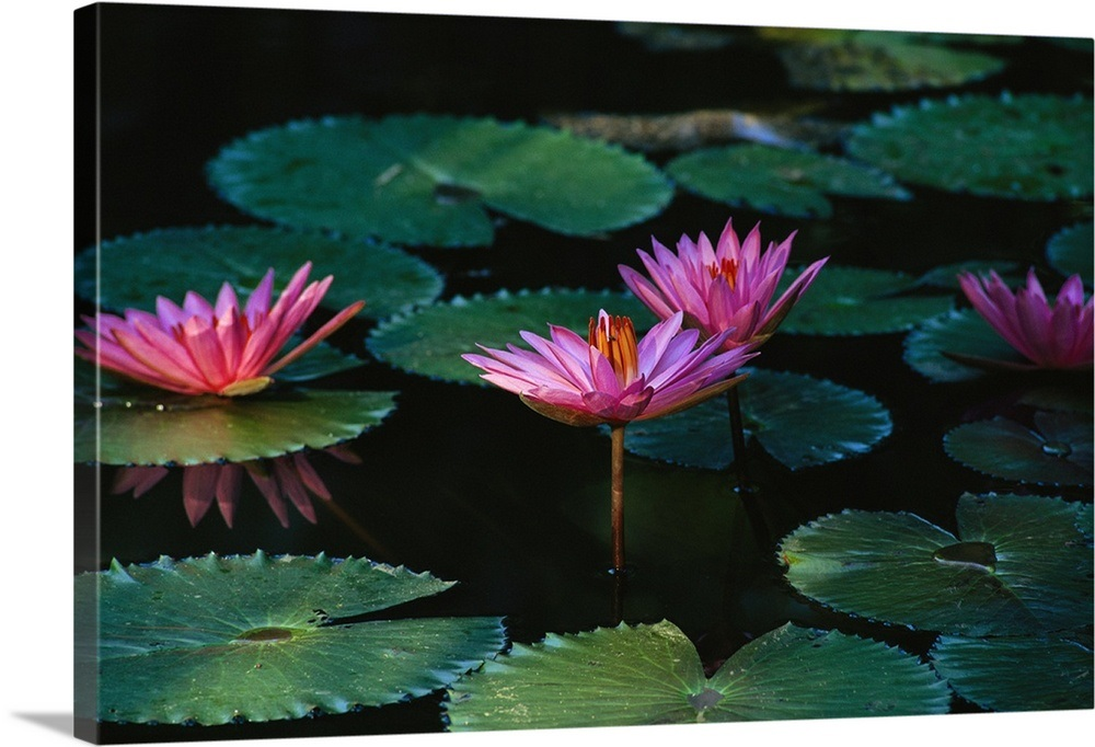 81aa7f940ee795 Beautiful pink water lily flowers in bloom Wall Art, Canvas Prints ...