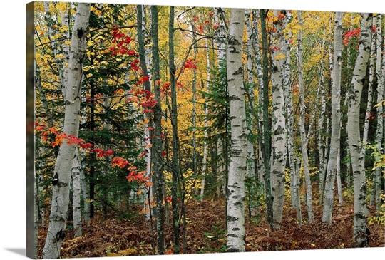 Birch trees with autumn foliage, Upper Peninsula, Michigan