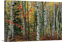 Birch trees with autumn foliage, Upper Peninsula, Michigan