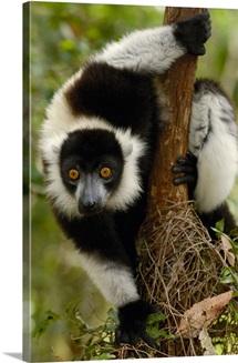Black and White Ruffed Lemur, Madagascar