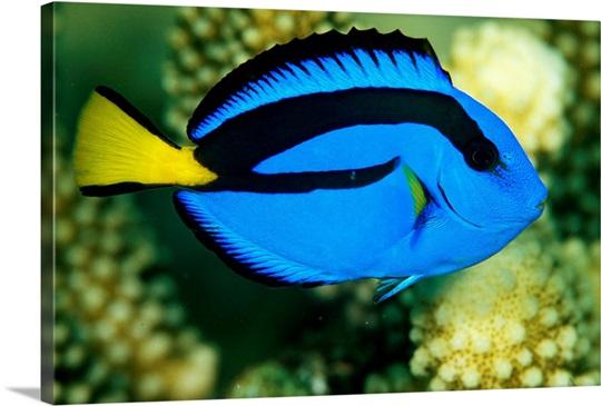 Blue Tang Fish, Rainbow Reef, Fiji