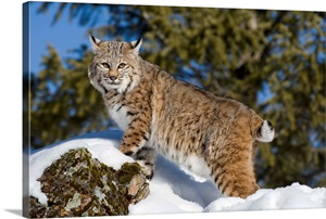 Bobcat In The Snow Kalispell Montana Wall Art Canvas