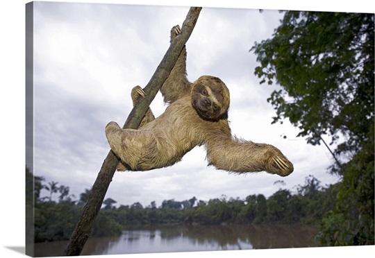 brown throated three toed sloth hanging in tree amazon peru wall