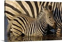 Burchells Zebra, Africa
