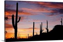 Cacti against the dusk sky, Saguaro National Monument, Arizona