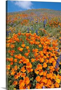 California poppies and lupines fill a landscape with a golden glow, Gorman Post Road