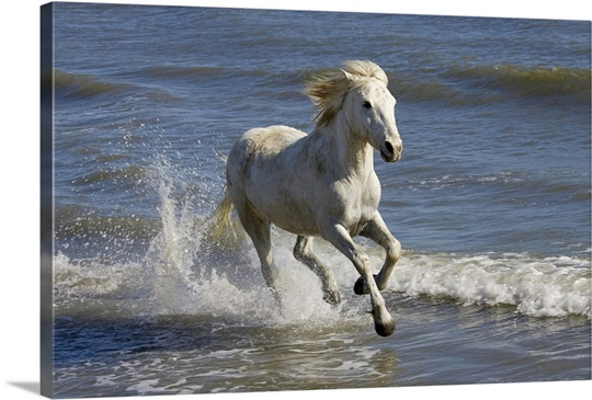 Camargue Horse running in water at beach, Camargue, France ... - photo#24