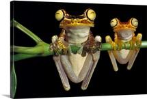 Chachi Tree Frog, Ecuador