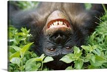 Chimpanzee, Democratic Republic of the Congo