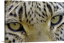 Close portrait of a leopard, Panthera pardus