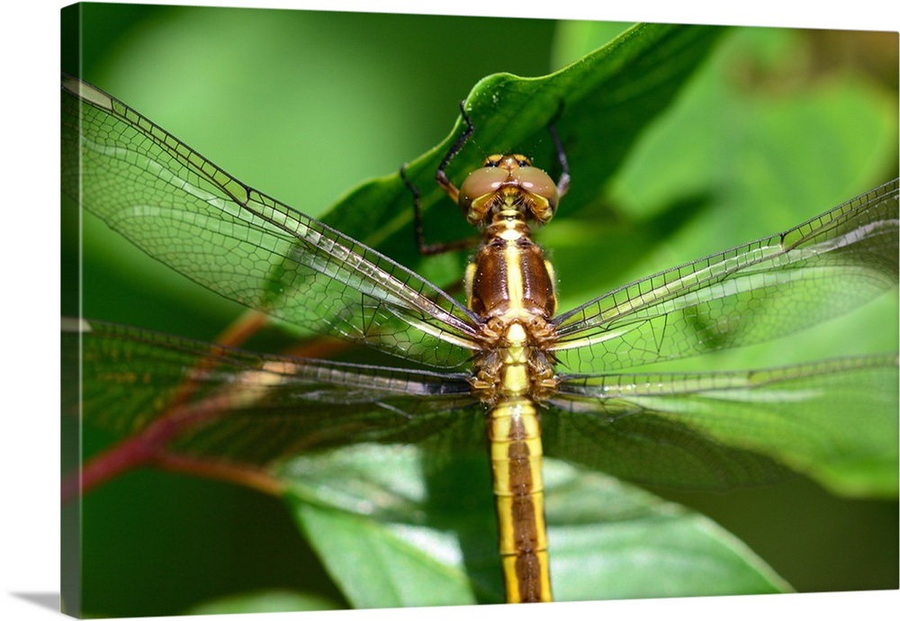 Close up of a female spangled skimmer dragonfly, Libellula ... - photo#7