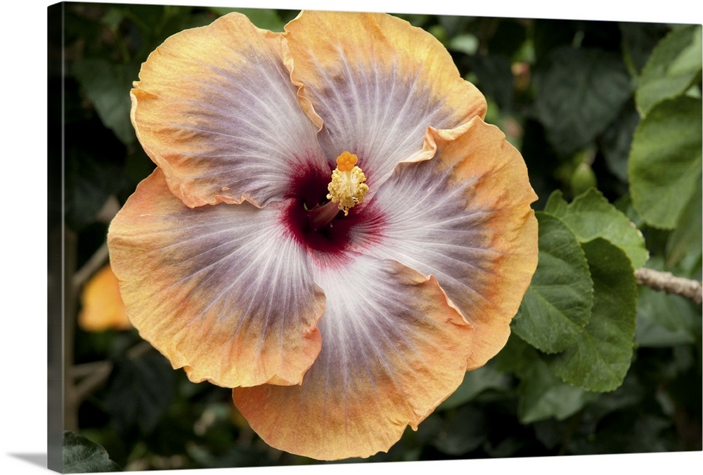 Close Up Of A Large Peach And Mauve Hibiscus Flower And Leaves Wall